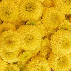 yellow chrysanthemum flowers seamless pattern