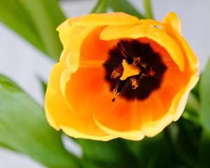 vibrant yellow orange tulip flower top view