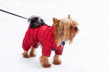 Yorkshire Terrier dog winter walk