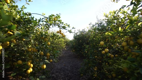 Walk In Between Lemon Tree Plantation Lemons Growing Hanging Branches With Ripe Beautiful Sunny Day Stock Footage And Royalty Free Videos On