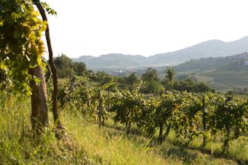 Summer in vineyard