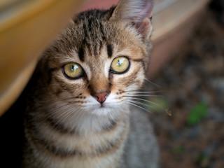 Tabby Kitten Staring