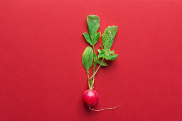One fresh raw ripe radishes with green leaves on red background. Minimalist creative style. Gardening summer harvest healthy lifestyle vegan organic produce concept. Top view copy space