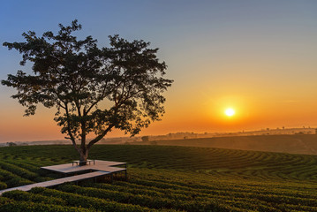 Alone tree on tea plantation and meadow in the morning on summer day.  Natural and Agriculture Concept