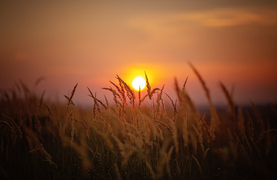 Sundown in wheat against the backdrop of faint colorful sunset