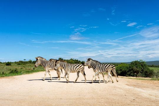 Zebra Addo #1