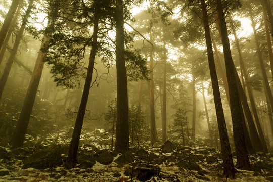 Path through a golden forest with fog and warm light. Snow in the pine forest. Mysterious scene