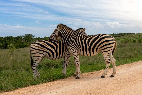 Zebra Addo #2