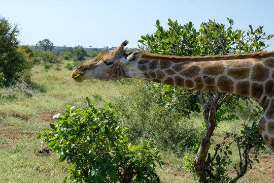 Giraffe Addo #2