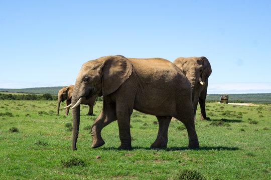 Elefant Addo #1