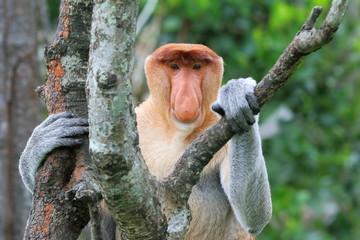 Nasenaffe (Proboscis monkey) Wall mural