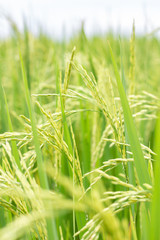 Green rice paddy on rice plant