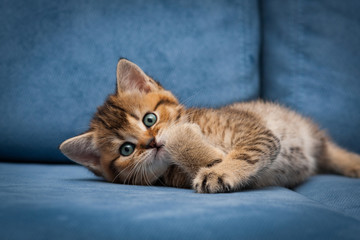 Red-haired cute British kitten is funny lying on a blue couch and looking at the camera