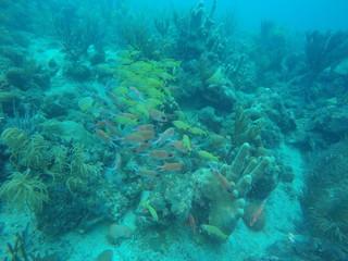 Cardumen de peces amarillos y de tonos rojizos