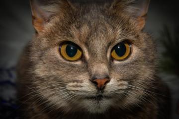 Grey cat face close up portrait