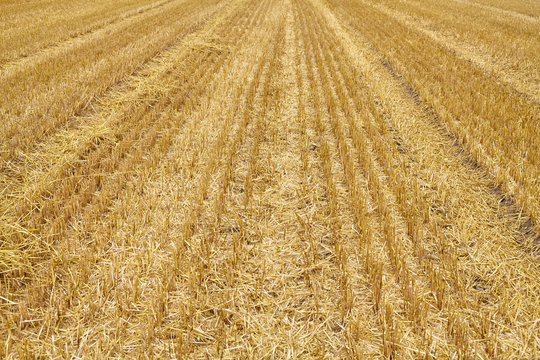 View of an empty stubble field, selective focus.