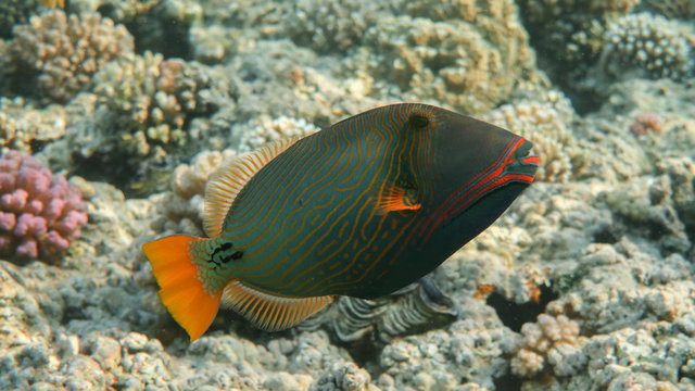 Orange-lined Triggerfish in the Reef