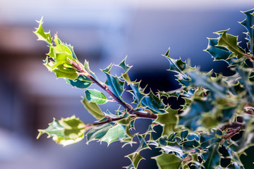 Beautiful Macro Holly with Natural Light