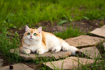 Red British cat with green eyes lying on a stone among the green grass