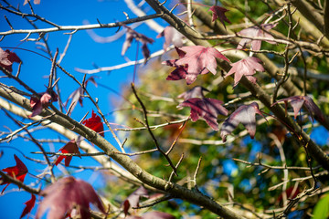 Beautiful Dark Red Mapple Leaves in the Tree