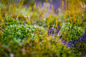 Beautiful Green Moss Grown Up with Water Drop Cover the Rough Stones in the Forrest