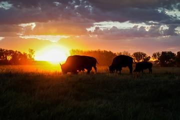 Bison Sunrise