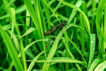 Dragonfly, lat. Lestes dryas , sitting on the green grass, swaying wind on a summer day.