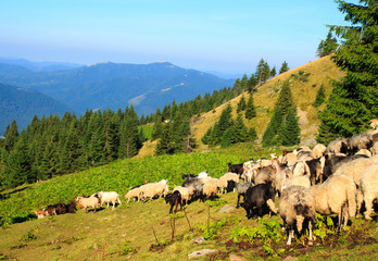 Herd of sheep in the mountains. beautiful mountain cenery, the Carpathian Mountains