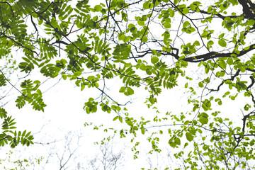 green springtime leaves