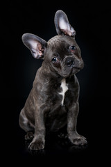 French bulldog puppy sitting on black background