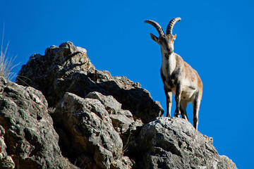 Macho de cabra hispánica pirenaica soleándose, en la sierra de Cazorla, Segura y Las Villas.