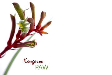 Foto op Aluminium Kangoeroe Australian native flora Kangaroo Paw flower on white background with copy space.
