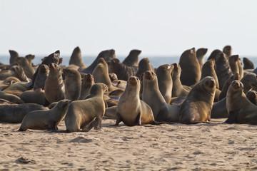 Pelzrobben in Walvis Bay, Namibia
