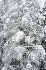 Snow covered birch tree