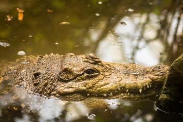 Acrylic Prints Crocodile Krokodil im Wasser