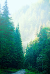 Beautiful forest foggy road in the morning, fir tree forest with a misty path, scenic mysterious nature view