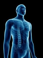 Illustration of a man's skeletal thorax