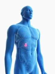 Illustration of a man's gallbladder