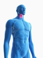 Illustration of a man's larynx