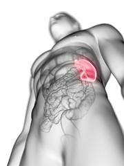 Illustration of a man's spleen