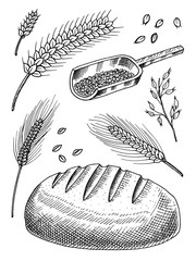 Set of wheat, rye spikelets and corn seeds for making bread and flour. Natural Bunch of cereals, whole grains and organic farmer oat product. Hand drawn Harvest for menu. Vintage sketch Doodle style.