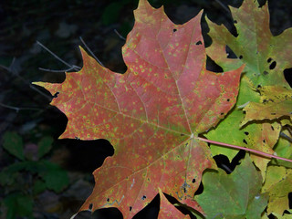 Autumn sugar maple leaf