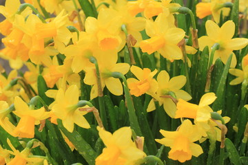 Group of yellow daffodils