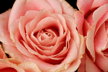 Big pink rose close up