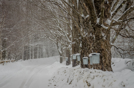 Metal sap collection Buckets hanging on sugar maple tree along road