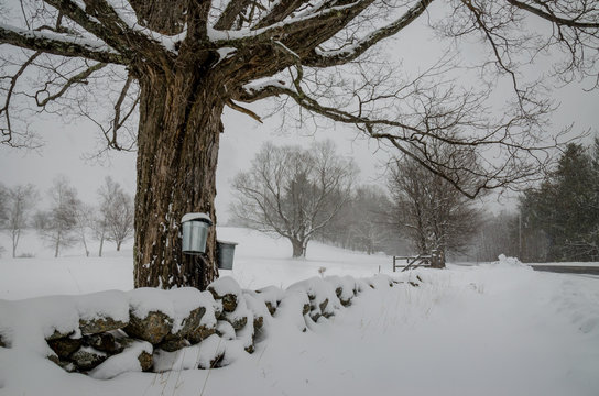 Metal sap collection Buckets hanging on sugar maple tree