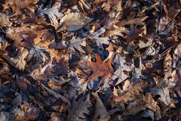 Dead brown leaves of various sizes and shapes cover the ground in a forest.