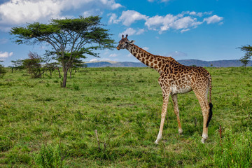 Giraffe, luscious green grasslands and Acacia trees of Serengeti Tanzania