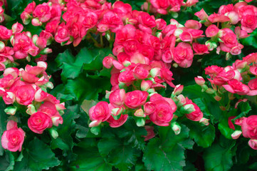 Pink begonia flower and green Leaves in the garden.