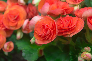 Orange begonia flower and green Leaves in the garden.